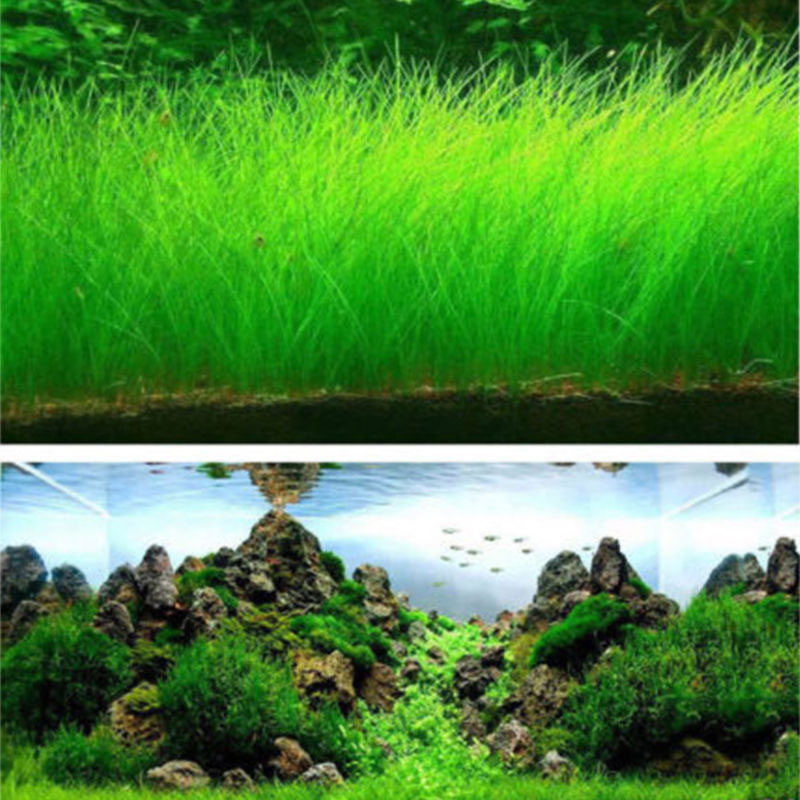 B536-1000Pcs-Pack-Fish-Tank-Aquarium-Water-Grass-Seeds-Aquatic-Plant-Garden