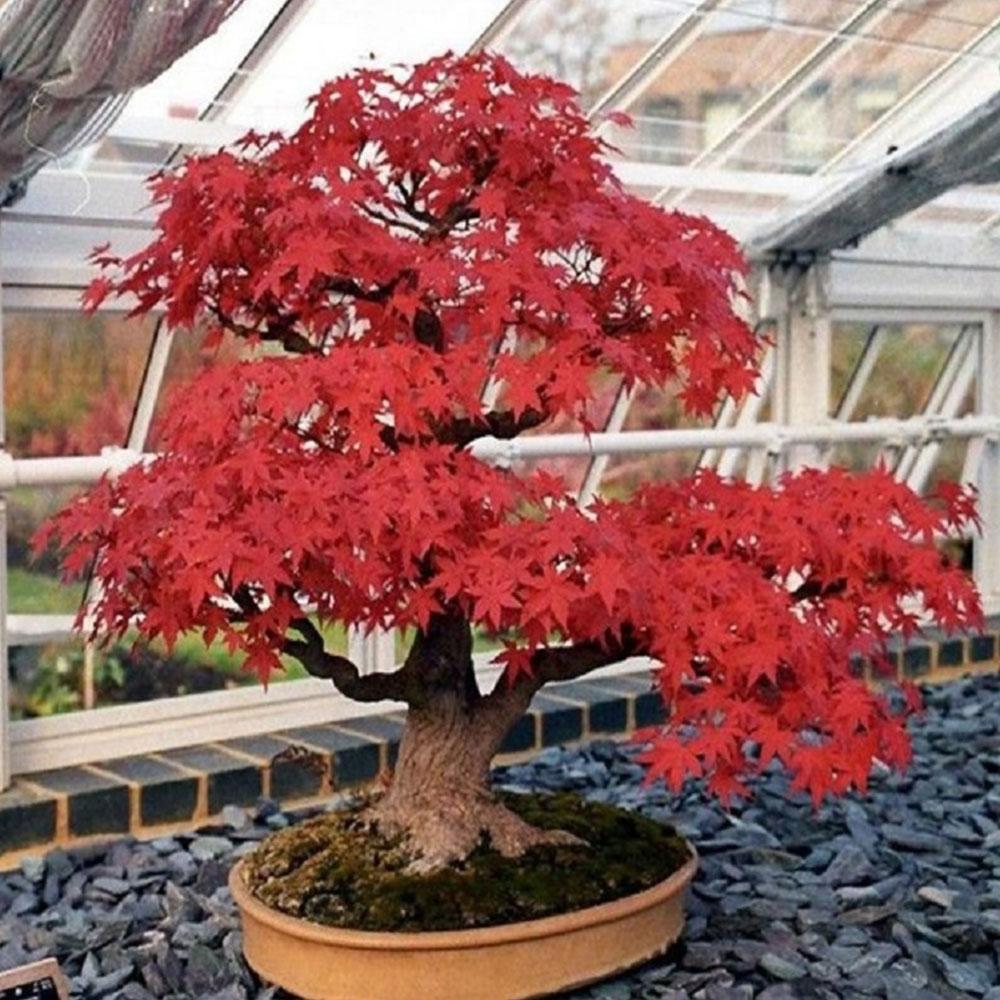 B58E-Multi-Colors-Living-Bonsai-Maple-Tree-Seeds-Beautiful-Balcony-Home-Garden